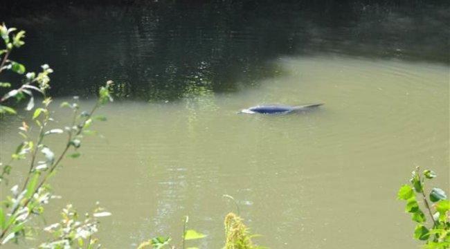Irmağa giren yunusun denize dönmesi için trafiği bile kestiler ancak...