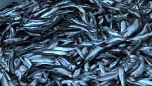 Ankaralı Balıkçılardan Hamsi Temizleme Rekoru